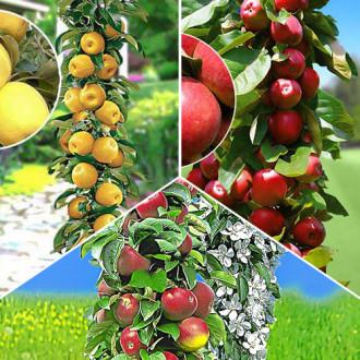 Суперпредложение! Комплект колоновидных яблонь Гурман из 3 саженцев