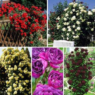 Суперпредложение! Комплект плетистых роз Цветной микс из 5 сортов изображение 6