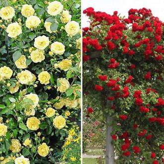 Суперпредложение! Комплект плетистых роз Дуо из 2 сортов изображение 1