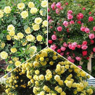 Суперпредложение! Комплект плетистых роз Триколор из 3 сортов изображение 8