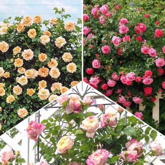 Суперпредложение! Комплект плетистых роз Трио из 3 сортов изображение 2