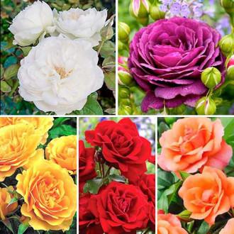 Суперпредложение! Комплект роз флорибунд Цветной микс из 5 сортов изображение 6