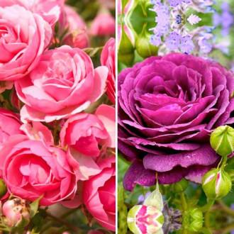 Суперпредложение! Комплект роз флорибунд Дуо из 2 сортов изображение 6
