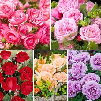 Суперпредложение! Комплект роз флорибунд Фламинго из 5 сортов изображение 3