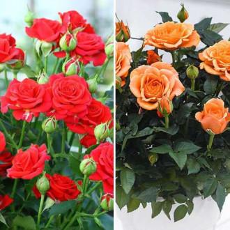 Суперпредложение! Комплект роз спрей Дуо из 2 сортов изображение 8