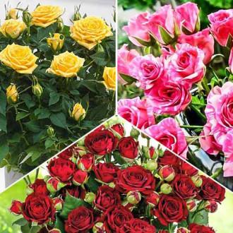 Суперпредложение! Комплект роз спрей Триколор из 3 сортов изображение 3