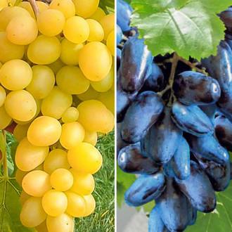 Суперпредложение! Комплект винограда Гиганты из 2-х сортов изображение 1