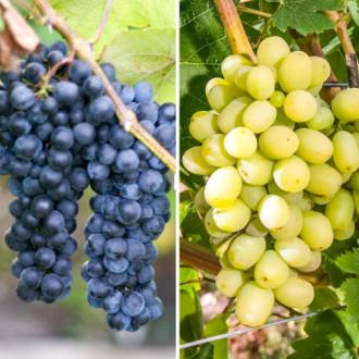 Суперпредложение! Комплект винограда Гиганты из 2-х сортов изображение 7