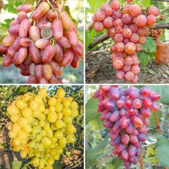 Суперпредложение! Комплект винограда Суперранний из 4 сортов изображение 2