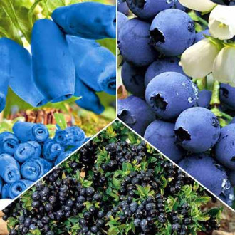 Суперпредложение! Комплект Вкусные ягоды из 3 саженцев изображение 3