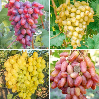Суперпредложение! Комплект Виноградная элита из 4 сортов изображение 8