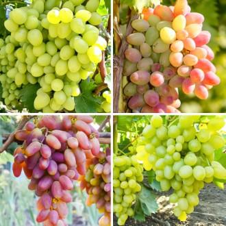 Суперпредложение! Комплект Виноградная элита из 4 сортов изображение 2