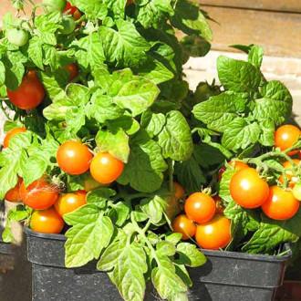 Томат Балконное чудо оранжевое изображение 8
