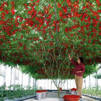 Томат Чудо дерево F1 изображение 1