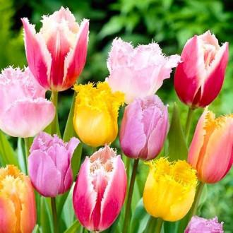 Тюльпаны бахромчатые, микс изображение 7