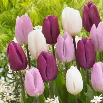 Тюльпаны Принц, микс изображение 3