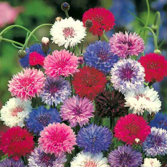 Василек махровый Разноцветные шары, смесь окрасок изображение 4
