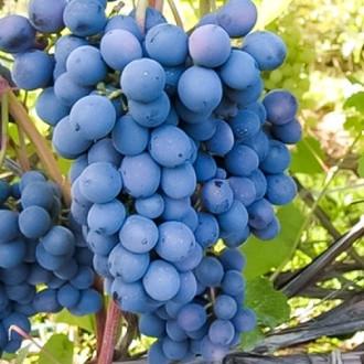 Виноград Агат Донской изображение 1
