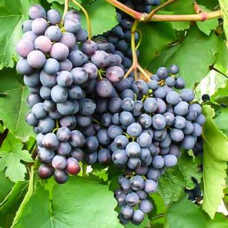 Виноград Аметистовый изображение 1