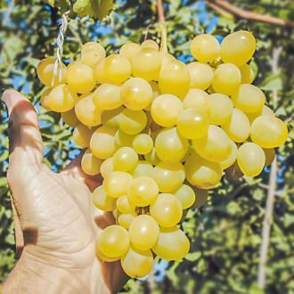 Виноград Амурский белый изображение 3