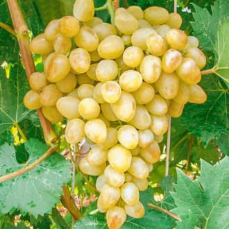 Виноград Аркадия изображение 1