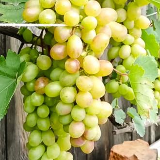Виноград Августин изображение 1