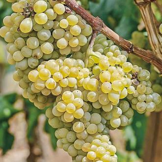 Виноград Аврора изображение 7