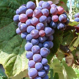 Виноград Башкирский