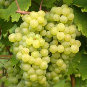 Виноград Бианка изображение 7