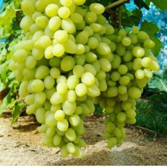Виноград Долгожданный изображение 6