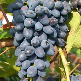 Виноград Фуршетный изображение 6