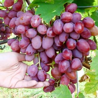 Виноград Граф Монте Кристо изображение 6