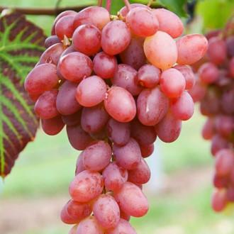 Виноград Гурман ранний изображение 4