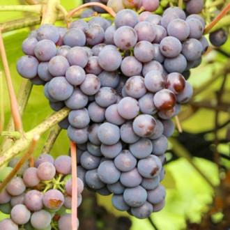 Виноград Изабелла изображение 1