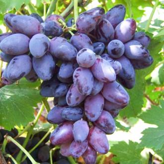 Виноград Кармен изображение 5