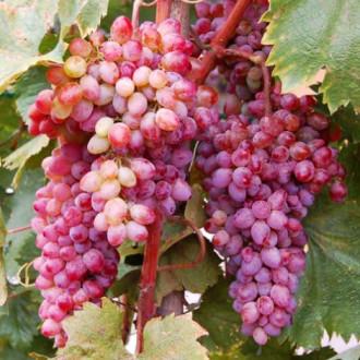 Виноград кишмиш Кинг Руби изображение 5
