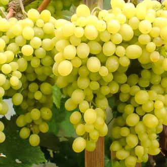 Виноград Кишмиш Белое пламя изображение 7