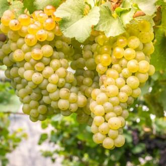 Виноград кишмиш белый изображение 7