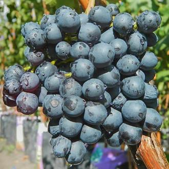 Виноград Кишмиш черный изображение 6