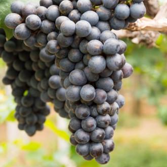Виноград кишмиш черный изображение 8