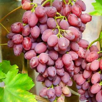 Виноград кишмиш Лучистый изображение 8