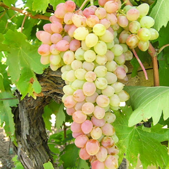Виноград кишмиш Мечта изображение 6