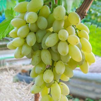 Виноград Кишмиш Столетие изображение 6