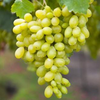Виноград кишмиш Столетие изображение 5