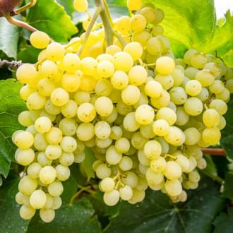 Виноград кишмиш Сверхранний изображение 6