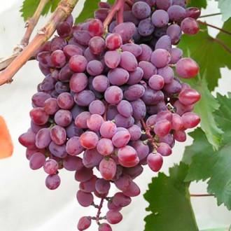 Виноград кишмиш Запорожский изображение 8