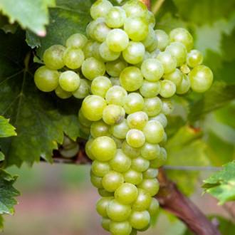 Виноград Мускат белый изображение 4