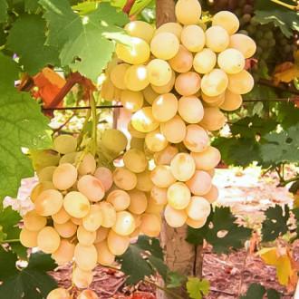 Виноград Розовая дымка изображение 8