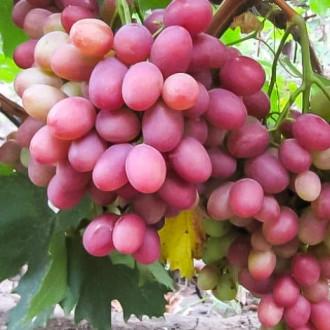 Виноград Рубиновый юбилей изображение 3