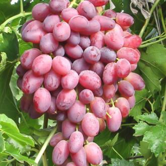 Виноград Шахиня Ирана изображение 7